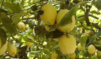 Libri e saggi sulle piante da frutto