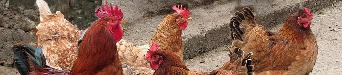 Libri sulle galline e i pollai