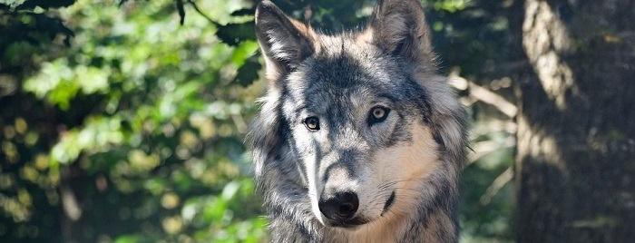 Libri sui lupi selvatici
