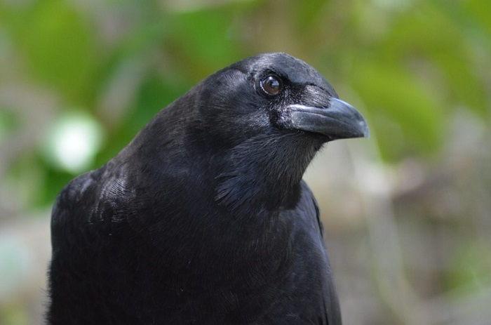 libri sul corvo