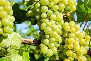 I migliori libri e manuali di viticoltura